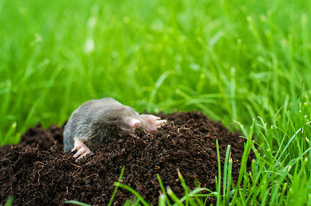 Mole in the hole Mole on a heap of soil in a field mole animal stock pictures, royalty-free photos & images