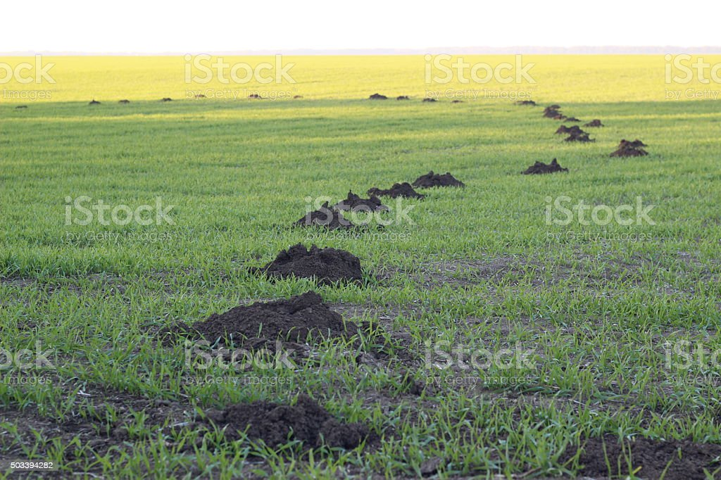 Mole mound in the green field stock photo