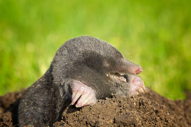Mole on molehill in lawn A mole coming out of molehill in lawn. Common black mole. mole animal stock pictures, royalty-free photos & images