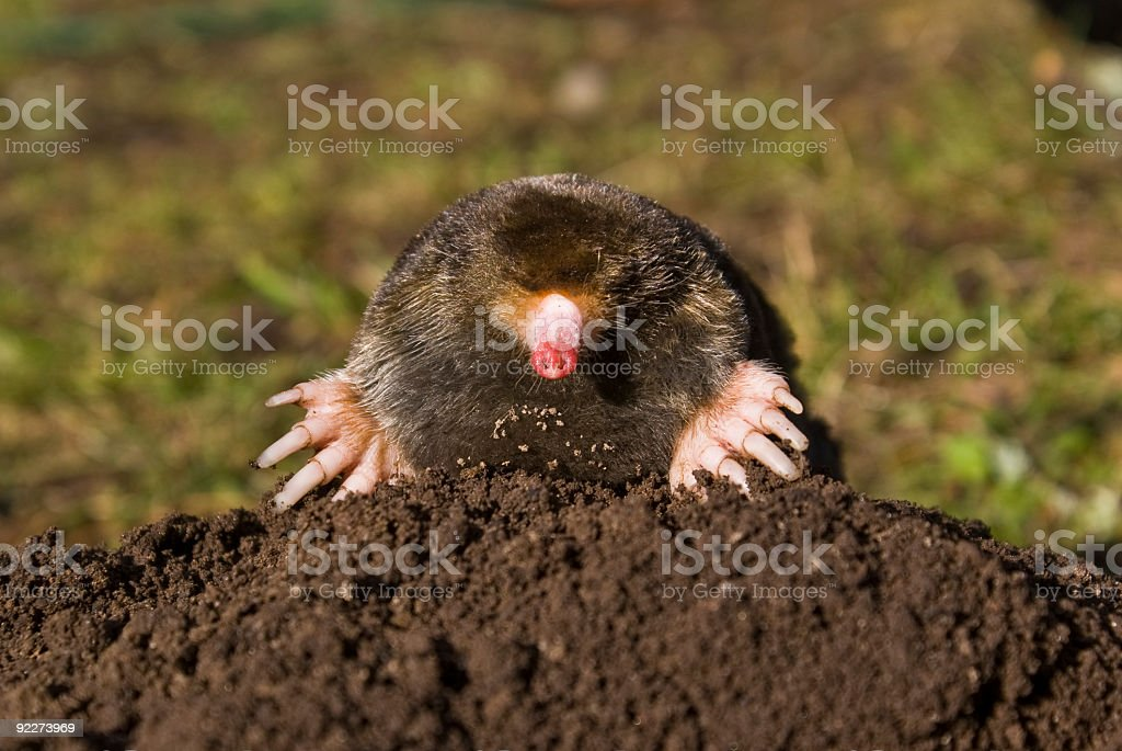 Mole on molehill in lawn royalty-free stock photo