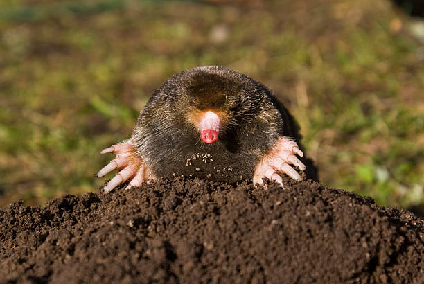 Mole on molehill in lawn  mole animal stock pictures, royalty-free photos & images