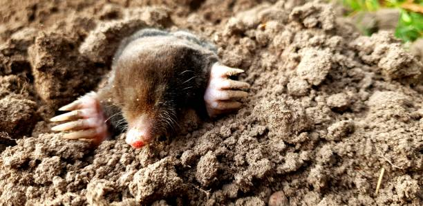 Mole on the lawn in the garden Mole coming out of the ground on the lawn mole animal stock pictures, royalty-free photos & images