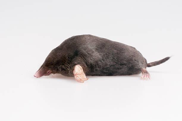Mole ona white background Mole on a white background - studio shot mole animal stock pictures, royalty-free photos & images