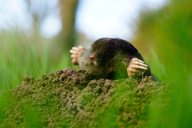 Mole peaking from molehill 1/2 Cute little mole peaking from molehill close up image of little nose and big hands. Cute little mole peaking from molehill close up image of little nose and big hands. Closeup with sharp details and soft focus. Grass moving in the wind makes a nice framing. mole animal stock pictures, royalty-free photos & images