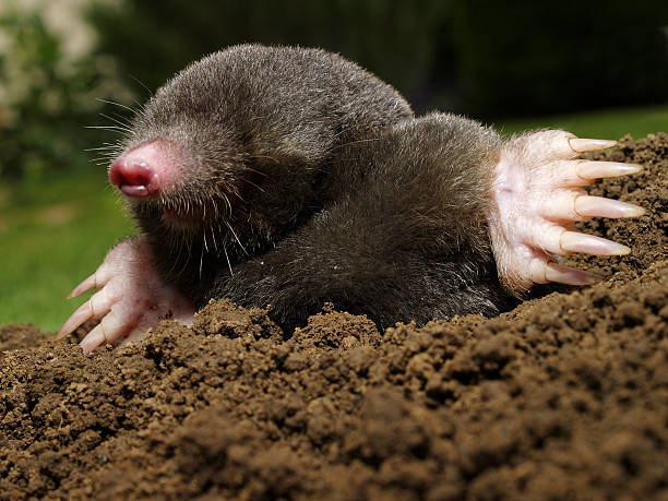 Mole. Mole in action. mole animal stock pictures, royalty-free photos & images