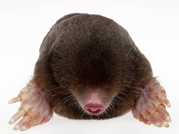 Mole. Animal fur. mole animal stock pictures, royalty-free photos & images