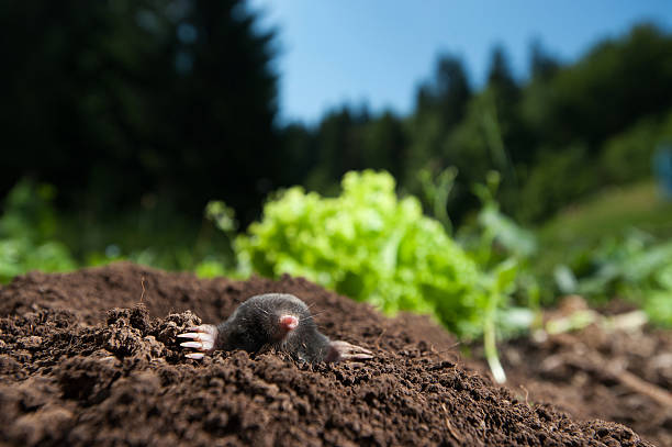Mole Mole peeking out of it's hole in the garden mole animal stock pictures, royalty-free photos & images