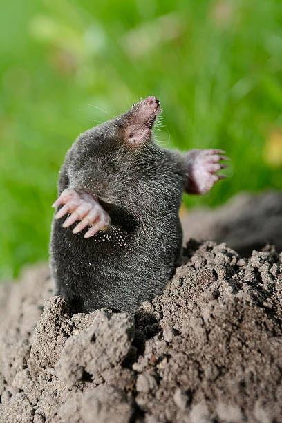 Mole Mole mole animal stock pictures, royalty-free photos & images