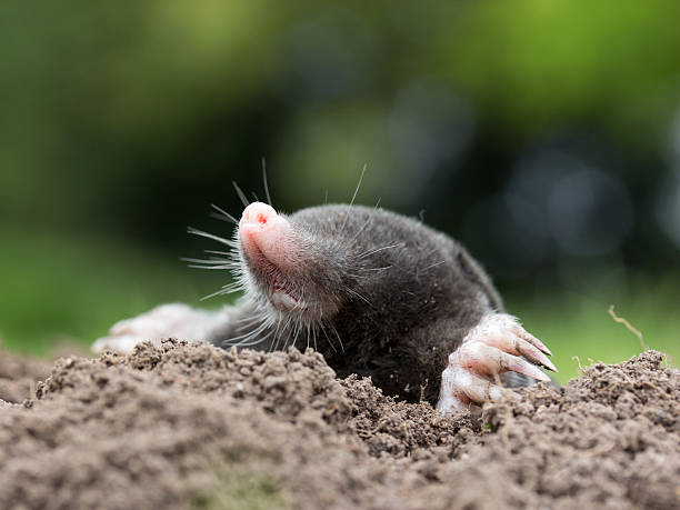 Maulwurf Maulwurf mole animal stock pictures, royalty-free photos & images
