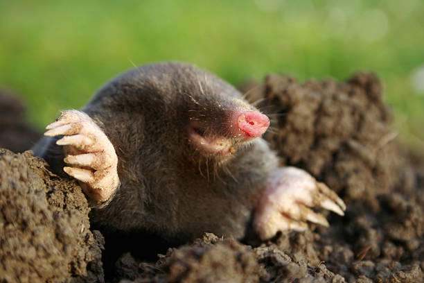 mole  mole animal stock pictures, royalty-free photos & images