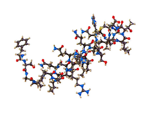 Molecule of Orexin A ball-and-stick molecular model of the hormone Orexin, also known as Hypocretin.  Orexin is involved in the regulation of the sleep/wake cycle and it stimulates apetite, wakefulness and energy expenditure. It has been linked with Alzheimer's disease.  Isolated on white. peptide stock pictures, royalty-free photos & images
