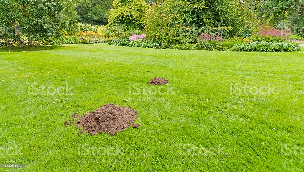 Molehills in a formal lawn stock photo