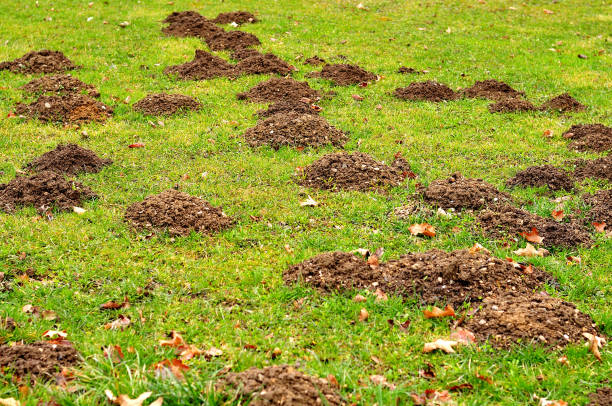 molehills in meadow group of molehills in spring garden mole animal stock pictures, royalty-free photos & images