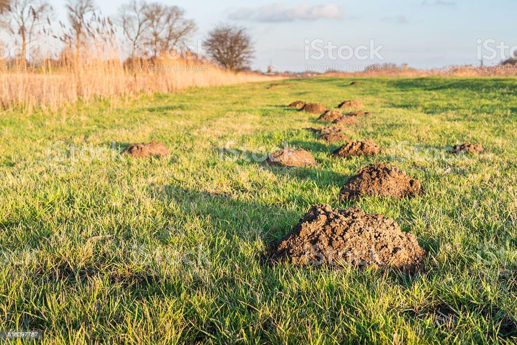 Molehills in the low sunlight stock photo