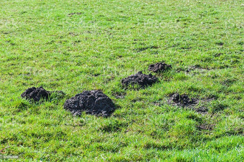 Molehills in the pasture stock photo
