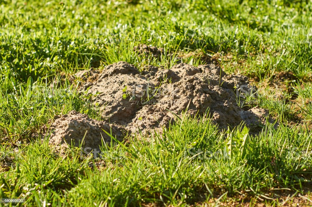 Molehills on the ground in springtime royalty-free stock photo