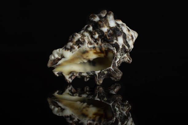 Mollusc sea shell isolated on black glass stock photo