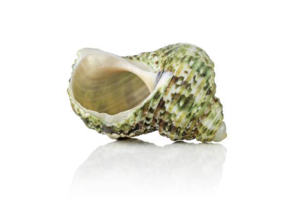 Mollusc sea shell isolated on white stock photo