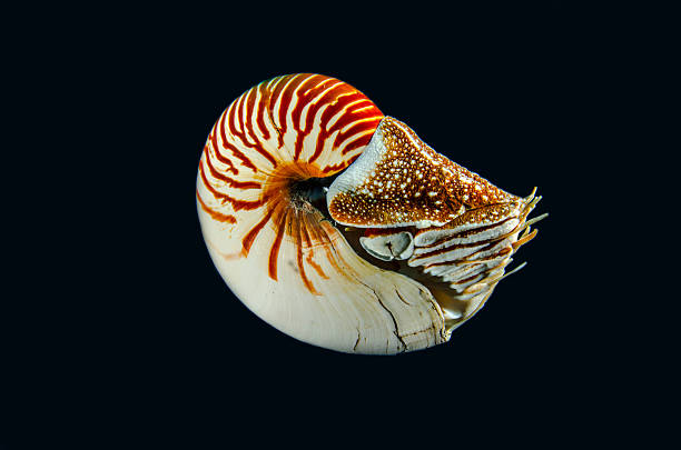mollusk - nautilus stock pictures, royalty-free photos & images