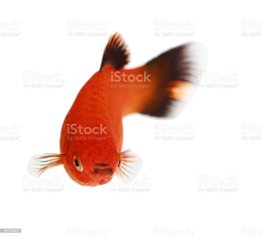 Molly Fish Isolated On White Stock Photo & More Pictures of Animal ...