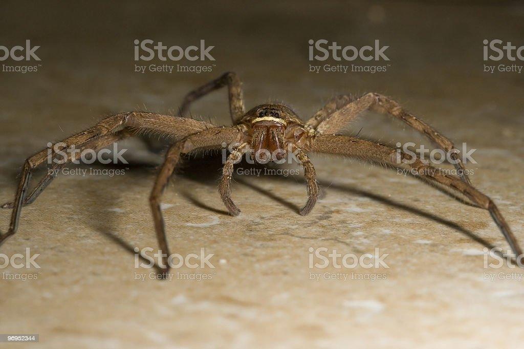 Molokai Spider royalty-free stock photo