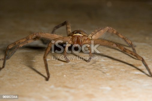Molokai Spider Stock Photo & More Pictures of Animals Hunting