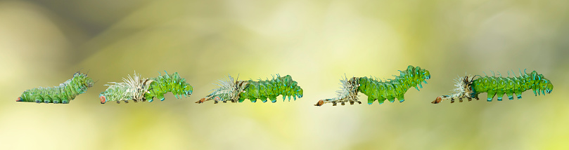 istock Molting caterpillar stage of Atlas butterfly ( atlas; attacus ) 878855286
