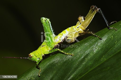 Molting grasshopper on green leaf.