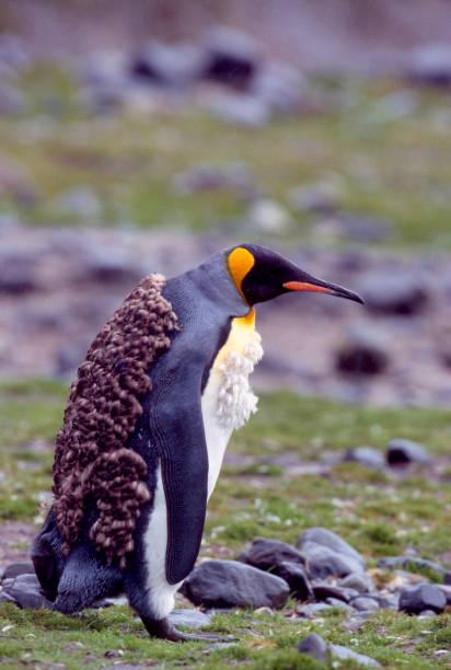 Molting King Penguin stock photo