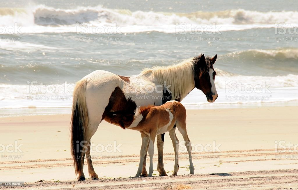 Mom And Baby Horse On Assateague Island Stock Photo Download Image Now Istock
