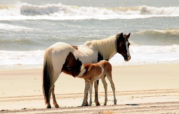 Mom and Baby Horse on Assateague Island stock photo