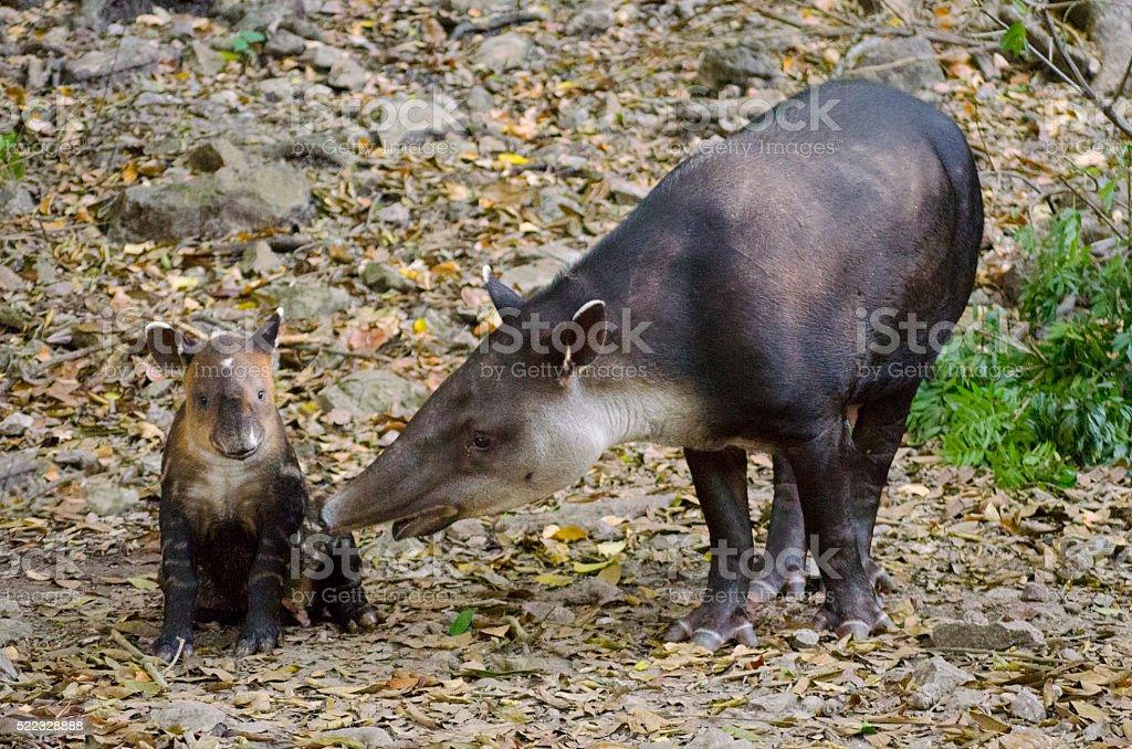 Mom and baby tapir stock photo