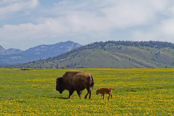 Mom and Calf Bison II stock photo