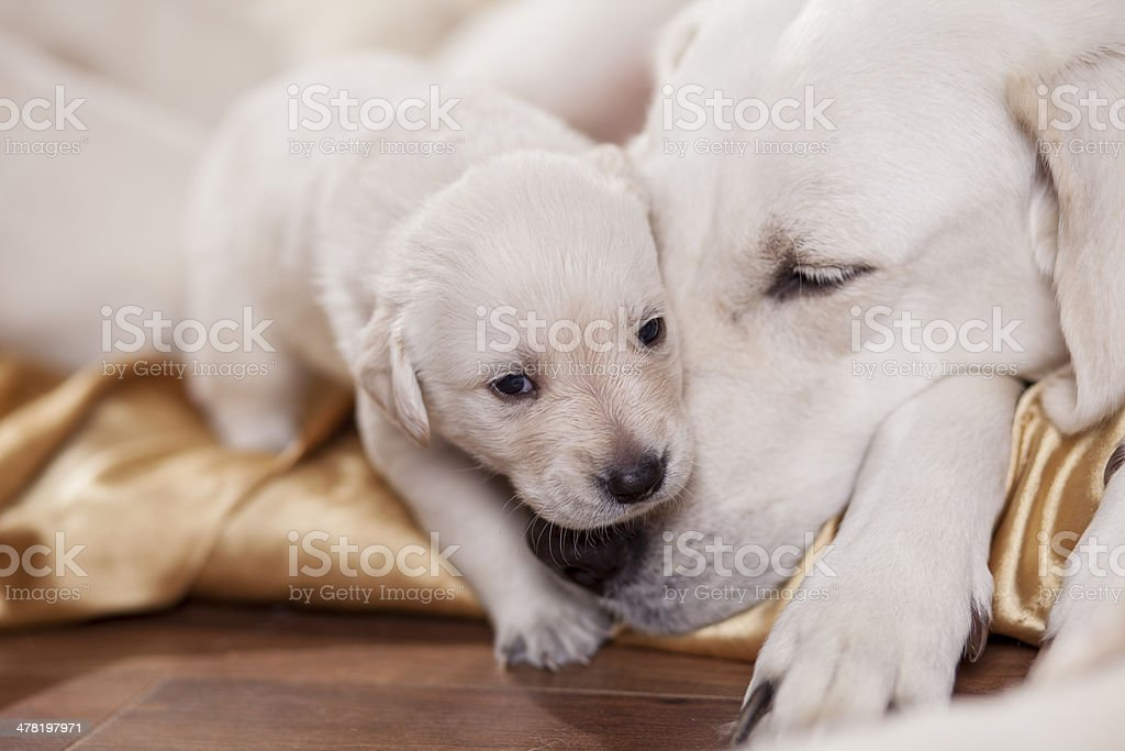 mom and child close up portrait of a white labrador retriever mother with puppy Puppy Stock Photo