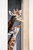Cute giraffes in zoo (Namibia-Africa)
