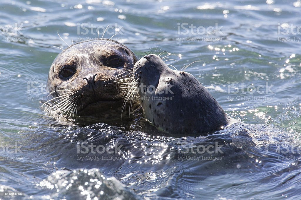 Mom and Puppy Harbor Seals royalty-free stock photo