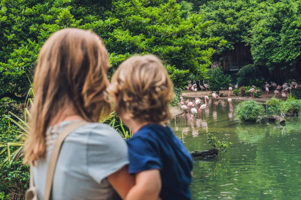 Mom and son are looking at the flock of birds of pink flamingos on a pond in Hong Kong Park stock photo