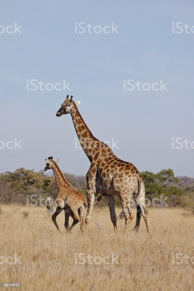 Mom and young giraffe royalty-free stock photo