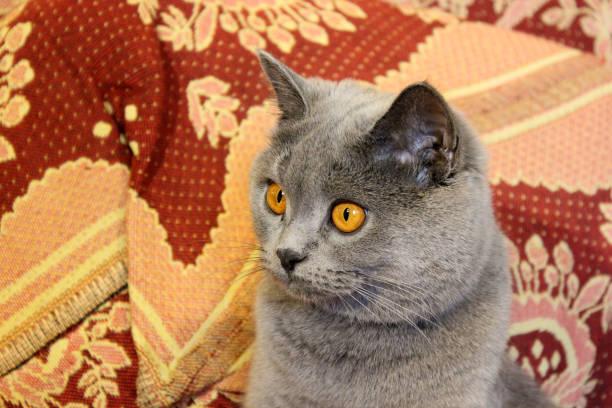 Mom cat closeup gray cat picture id1169316232?b=1&k=6&m=1169316232&s=612x612&w=0&h=ovdrbm0jl1maggilnl9xwr9o1r46h1gxxqsotklaj8y=