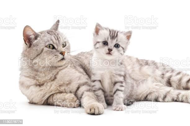 Mom cat with kitten picture id1130278774?b=1&k=6&m=1130278774&s=612x612&h=eihour2vzqzw6ts2h9rvz8vpjze03j xml1slutvzh0=