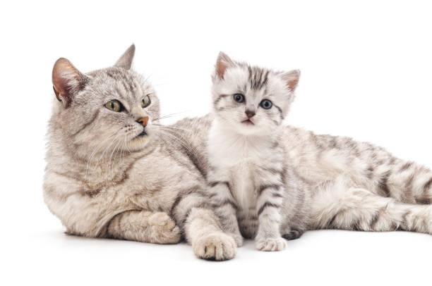 Mom cat with kitten picture id1130278774?b=1&k=6&m=1130278774&s=612x612&w=0&h=yfiouunnqlv5rq6e870mnujk7zkzy2cppy3e52er548=