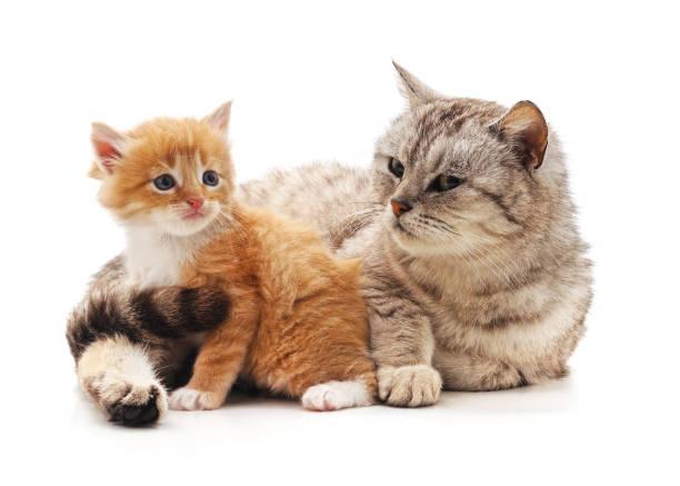 Mom cat with kitten picture id1143526916?b=1&k=6&m=1143526916&s=612x612&w=0&h=qo6ez7zs3fa28mtkenajkfcurk2ev4hzdpnvty45ht0=