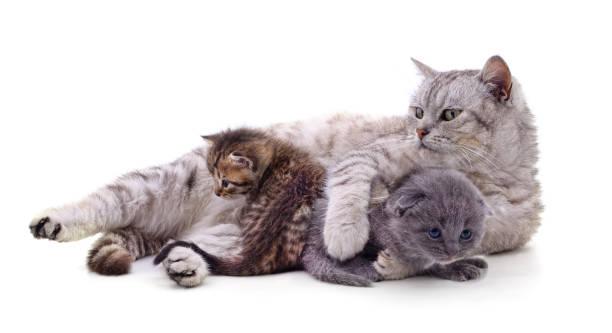 Mom cat with kittens picture id1224836234?b=1&k=6&m=1224836234&s=612x612&w=0&h=4x9bnz4pf5edycu5eopcedsii1jk4n8cbel7e9oywba=
