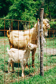 Mom is a goat and a little goat behind a fence on a goat farm. High quality photo