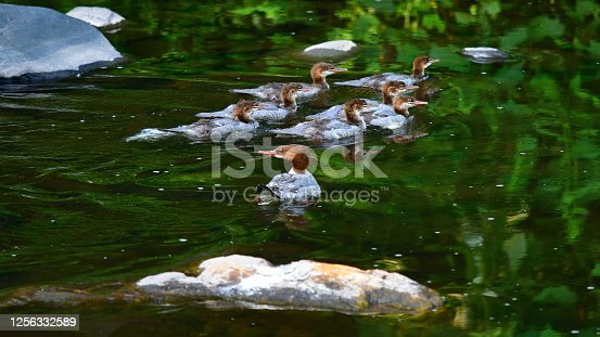 Common merganser mother (front) guarding her brood as they all swim in Connecticut's Bantam River