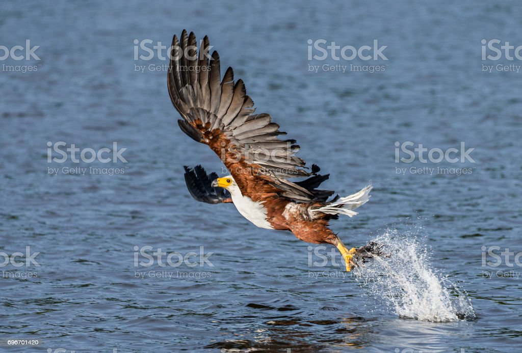 Moment of the African fish eagle's attack on the fish in the water. East Africa. Uganda. stock photo