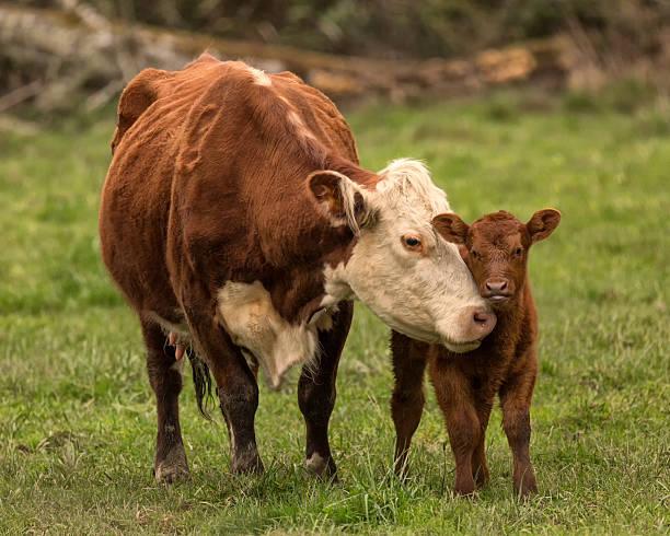 Momma Kuh und Kalbsleder – Foto