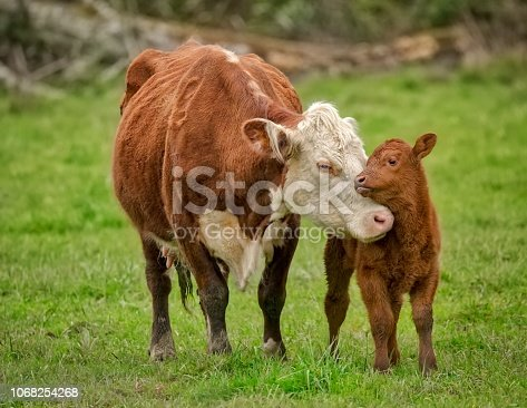 Momma Cow and Calf Sharing a Nuzzle, Humboldt County, California