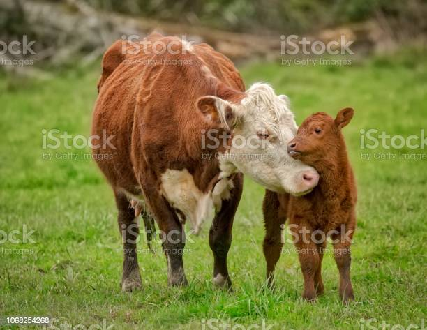 Momma cow and calf sharing a nuzzle picture id1068254268?b=1&k=6&m=1068254268&s=612x612&h=1evnrtcfbea97tda0adq gfjwab5k3d8krwoxtpkhpe=