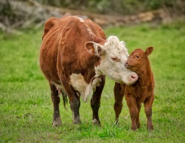 momma cow and calf sharing a nuzzle - cow stock photos and pictures
